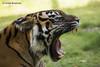 Yawn........ (lindabosmuis) Tags: canon 6d 100400mm arnhem netherlands burgers zoo dierentuin tiger tijger mouth bek geeuw yawn predator bigcat sumatran roofdier grotekat