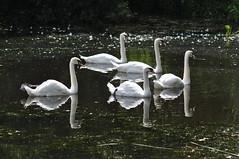 Family Outing (Latimer's Paradox) Tags: birds wildfowl hillsboroughlake swans muteswans anatidae cygnusolor