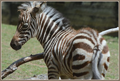 [][][] Baby Zebra Study [][][] (Wolverine09J ~ 1 Million + Views) Tags: babyzebra newborn zoowildlife fauna mammal nature summer minnesota exotic frameit~level01 heartawards thegalaxy