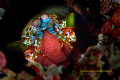 My Baby (kayak_no1) Tags: nikon d800e nauticamhousing 105mmvr diopter ysd1 subsee10 underwater underwaterphotography macro supermacro diving scubadiving uw lembehstrait indonesia eggs peacock mantis shrimp