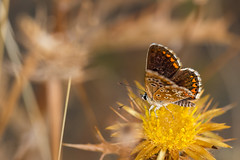 Butterfly (Eduardo Estllez) Tags: polyommatusicarus mariposa animal insecto lepidoptera invertebrado entomologia natural naturaleza medioambiente horizontal color macro primerplano enfoquediferencial fondodifuso alas volador antenas silvestre dehesa barruecos extremadura espaa eduardoestellez estellez