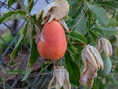 Passiflora caerulea (atgc_01) Tags: canon g15 passifloracaerulea passiflora passionfruit passionflower