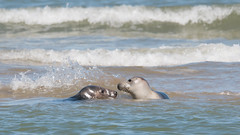 Grey Seals courting on the sandbar at Horsey, Norfolk (Clive_Bushnell) Tags: anglia atlantic coast east greyseal horsey horseygap mammal marine norfolk northsea sand sea shore summer uk water beach courting behaviour wildlife nature