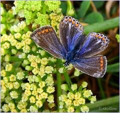 Comon Blue1 (Doe15) Tags: scilly