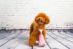 MATCHA LOW-31 (Michiez Chua Petography) Tags: poodle toypoodle singaporedog singapore redpoodle cute dog dogs canon 35mm studio studioshoot dogshoot