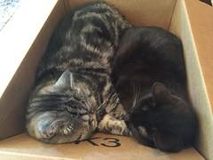 Pals (alasam) Tags: exotic havanabrown cats box sleepingcats