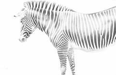Presque invisible... (franck.robinet) Tags: bw zebre zebra nature natur noir et blanc mono monochrome rayure stripes animal noiretblanc blackandwhite hollow