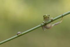 Boomkikker - Eurasian Treefrog (KarsKW) Tags: nature animals wildlife macro awd netherlands karskw kars klein wolterink natuur duinen amsterdamse butterfly treefrog eurasian green color sharp outdoors outside canon eos 750d tamron 90mm