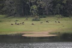 Deers at Thekkady (Dinesh flicks) Tags: munnar munnarphotos munnarscenaries munnartouristspot devikulam topstation amaravathidam chinnarwildlifesanctuary thekkady dinesh photography kerala