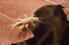 Stonefly nymph (Plecoptera) (Jan Hamrsky) Tags: invertebrates freshwaterinvertebrates insects aquaticinsects waterinsects macrophotography stoneflynymph stoneflylarva larvae plecoptera