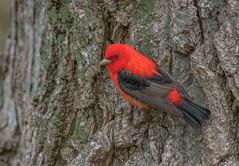 Scarlet Tanager (Joe Branco) Tags: lightroomcc2015 photoshopcc2015 branco joe ontario canada songbirds birds nikond500 wildlife nature joebrancophotography scarlettanager green
