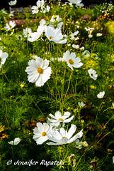 Kosmeen (Bernsteindrache7) Tags: summer spring sony 100 alpha flora fauna flower bloom blossom blume landscape outdoor park white