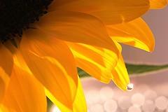 summer droplet (Tomo M) Tags: sunflower summer waterdroplet water bokeh blur yellow droplet macro