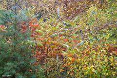1655Fall09 (Robin Constable Hanson) Tags: yellow autumn brown fall forest green horizontal landscapes leaves pine red sumac