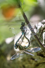 Where baby dragonflies come from (Laura Erickson) Tags: stlouiscounty peabodystreet places duluth animals insects dragonflies invertebrates minnesota