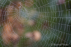 Cobweb droplets, Norway (KronaPhoto) Tags: 2016 hst natur cobweb spindelvev spider edderkopp art droplets drper water nature norway mist morning wet garden