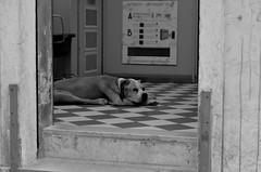 waiting (Emma Gavagna) Tags: dog cute cane animals nature blackandwhite black white 50mm nikon photography street shooting light shadows italy venice venezia