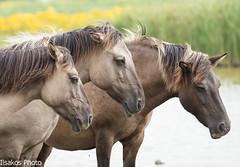 konick horses
