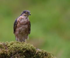 Sparrowhawk  - Explored 26/9/16 (DaisyDeeM) Tags: sparrowhawk bird feathers nature outdoor