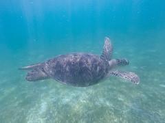 Schildkröten schweben im wasser