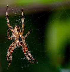 Araneus Diadematus (rustyruth1959) Tags: araneusdiadematus organic macro green legs outdoor web nature gardenspider insect spider tamron16300mm nikond3200 nikon animal crossspider eight arachnid silk weave