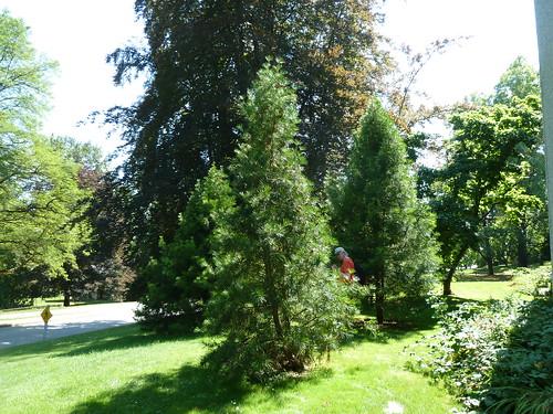 arboretum riverview verticillata sciadopitys japaneseumbrellatree