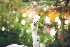 IMG_4007 (hobopeeba) Tags: light white tree bird water pool beauty grass leaves rose garden drops jump swan bokeh willow canon50mm12 5dmarkiii