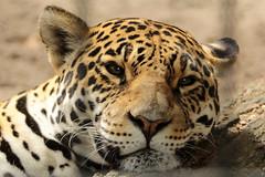 Jaguar (K.Verhulst) Tags: jaguar cats antwerpen belgie belgium thegalaxy deantwerpsezootheantwerpzoo soe kat cat