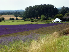 GOC Ickleford 015: Lavender farm (anemoneprojectors (through the backlog)) Tags: walking countryside hiking walk farm lavender hike hertfordshire herts cadwell lavenderfarm goc ickleford lavenderfield hitchinlavender cadwellfarm gayoutdoorclub z981