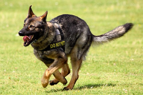Military Working Dog - American Air Day 2012