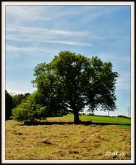 Walnussbaum (Juglans regia) (LOMO56) Tags: juglandaceae juglansregia nusbaum laubbume persianwalnut baumnuss walnusbaum echtewalnuss walnussgewchse