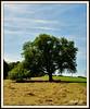 Walnussbaum (Juglans regia) (LOMO56) Tags: juglandaceae juglansregia nusbaum laubbäume persianwalnut baumnuss walnusbaum echtewalnuss walnussgewächse