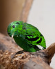 Green bird at BPZoo (Melian, Grey Wanderer) Tags: green bird animal closeup zoo budapest dpsgreen