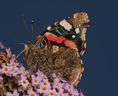"""Red Admiral • <a style=""""font-size:0.8em;"""" href=""""http://www.flickr.com/photos/57024565@N00/7831624052/"""" target=""""_blank"""">View on Flickr</a>"""