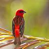 Madagascar Red Fody (Foudia madagascariensis) (Jeluba) Tags: bird nature canon square wildlife aves mauritius ornithology birdwatching oiseau carré foudiamadagascariensis madagascarredfody madagaskarweber foudirouge
