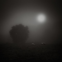 Sheep (Andy Brown (mrbuk1)) Tags: light shadow sun mist tree english field grass animals silhouette fog contrast rural dark square landscape dawn mono three countryside blackwhite moody feeding somerset backlit creatures lowkey picturesque livestock tone grazing thirds