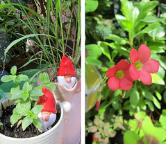 mint, lemongrass & iron cross oxalis (gorgeoux) Tags: uk london garden iron cross terrace mint lemongrass oxalis
