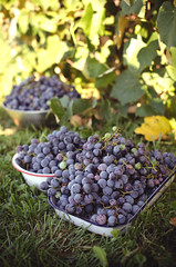 Grape Harvest (Simply Vintagegirl) Tags: new autumn summer plants plant green fruit dessert vineyard purple sweet branches 28mm harvest vine fresh growth produce nikkor f18 concord grape gather 28mmf18 concordgrape