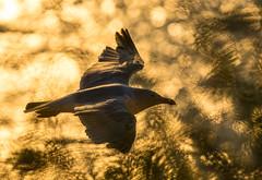 MOEWE_CW_0228.jpg (westphalen) Tags: france seagull möwe picardie 400mm merslesbains 5dmkiii 5d3