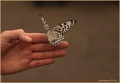 30aug12: vlindertuin Zoo Emmen. (guus timpers) Tags: en white black butterfly garden zoo hand finger zo zwart wit emmen vlinder noorderdierenpark vinger dierenpark butterflygarden vlindertuin