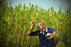 Narcoto foncedé dans son champ de ganja! (nARCOTO) Tags: field stone cannabis hemp chanvre