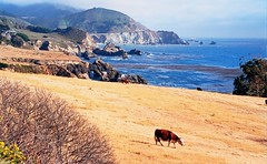 Big Sur Cows (Six Sigma Man (Thank you for the 1.6M+ views)) Tags: california bigsur 1001nights topshots photosandcalendar worldwidelandscapes panoramafotogrfico thebestofmimamorsgroups theoriginalgoldseal mygearandme mygearandmepremium mygearandmebronze mygearandmesilver mygearandmegold flickrsportal mygearandmeplatinum rememberthatmomentlevel1 magicmomentsinyourlifelevel1 rememberthatmomentlevel2 rememberthatmomentlevel3