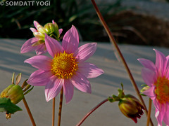 153. SMILE PLEASE.... ;-) (Somdatt Yogi) Tags: india flower nature beautiful canon wow garden fly wildlife powershot planet greatshot gurgaon canonpowershot mustsee somdatt somdattyogi giglana somdattyogigiglana