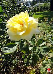Roses - Hybrid tea rose Maid of Honour' - Rosaceae SC20120826 305 (fotoproze) Tags: roses canada rose quebec montreal rosen gl rosas rozen 2012 roser    rosor mawar jardinbotaniquedemontral rsir re re  montrealbotanicalgardens trandafiri arrosak ruusut hoahng       rue    rzsk queenrose vrtnice ris  rhosynnau