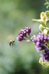 (Louise Martin Photography) Tags: park macro 35mm garden outside flying inflight nikon bokeh bee landing takeoff d7000