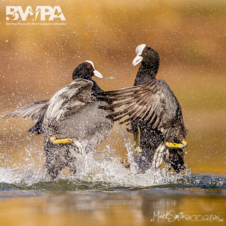 BWPA 2012 - Animal Behaviour - Highly Commended - Sparring coots