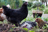 Australorp with Wyandottes (Alexander Boyes Photography) Tags: black chickens milwaukee hens australorp wyandotte pullet silverlacedwyandotte