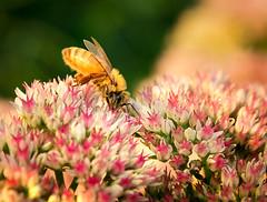 Honey Bee on Sedum