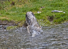 wolf diving for fish (ladydipim) Tags: wild creek fishing wolf salmon wilderness dunking notadog
