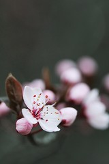 The first of Spring XIV (anna cate (been MIA)) Tags: pink flowers macro canon spring bokeh blossoms 100mm buds twigs f35 bonython annacate